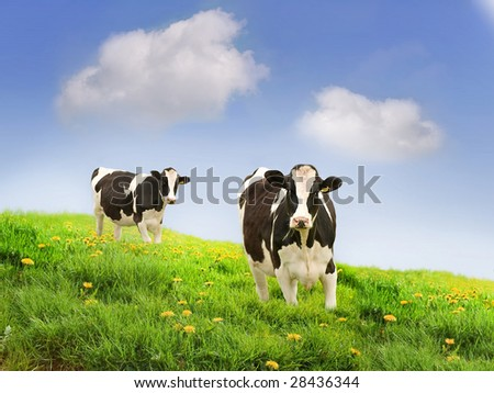 Holstein (US) or Friesian (UK, Australia) cows in a beautiful pasture. More cow images in portfolio. - stock photo