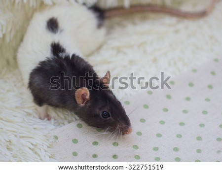 Homemade rat in conditions of restricted freedom Homemade rat in conditions of restricted freedom