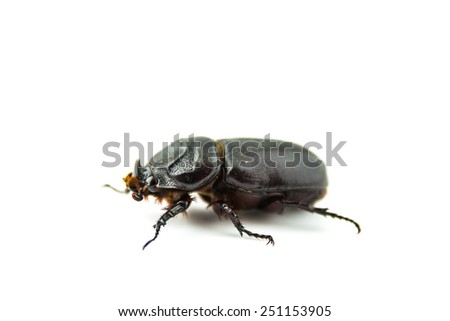 Horn beetle (Dynastinae) on whit background. - stock photo