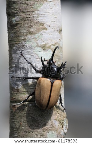 5-horned  Eupatorus Gracilicornis, Rhino horn beetle in Chiang Mai, north of Thailand. - stock photo
