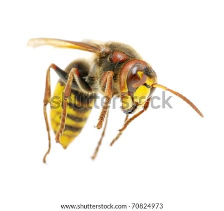 hornet attacks on white - stock photo