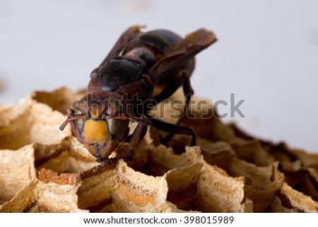 Hornisse (Vespa crabo) close up - stock photo