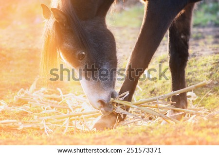 horse eats corn straw in pasture in sunlight at sunset , close up - stock photo
