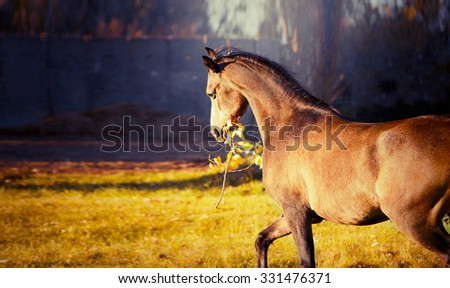 horse keeps in mouth a branch with leaves and plays with her on autumn nature background - stock photo