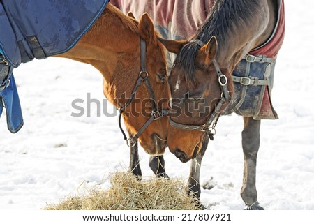 2 Horses in a snow covered paddock in a pose as if sharing a secret - stock photo