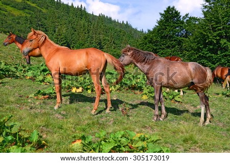 Horses on a summer mountain pasture - stock photo