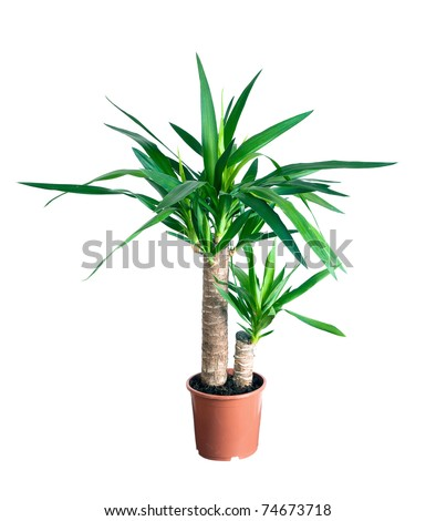 house plant in a pot.  yucca - stock photo