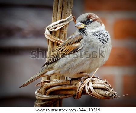 House Sparrow (Passer domesticus) - stock photo