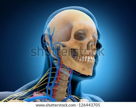 Human Head Anatomy - stock photo