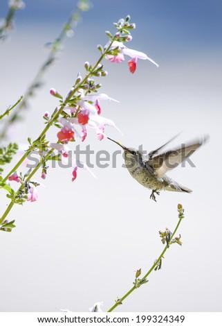 Hummingbird in flight at a pink flower. - stock photo