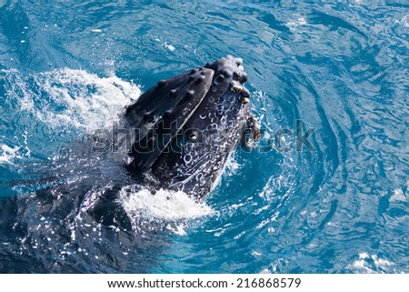 Humpback whale at Hervey Bay queensland august ths year - stock photo
