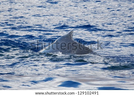 Humpback whale back.	Humpback whale are swimming next to coast of Hawaii island. Back of adult Humpback whale. - stock photo
