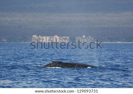 Humpback whale near to coast. Humpback whale are swimming next to coast of Hawaii island. - stock photo