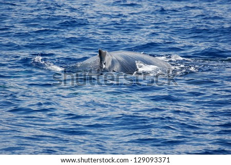 Humpback whale on the surface. Humpback whale are swimming next to coast of Hawaii island. - stock photo