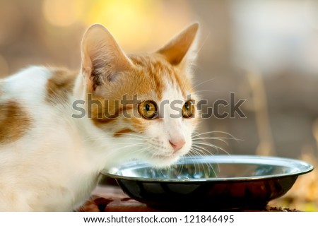 Hungry Kitten In front of a saucer full of milk. - stock photo