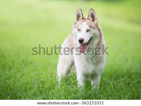 Husky dog standing in grassy field
