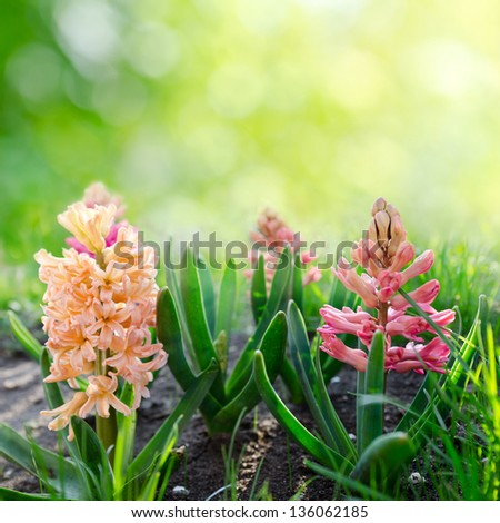 Hyacinth  flower. Spring background.
