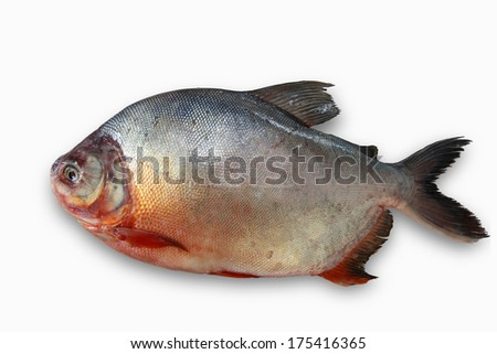 Image of a Amazon fresh water fish: Colossoma macropomum, called Paco or Pacu - stock photo