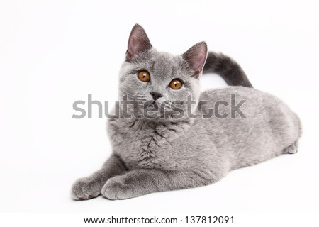 image of funny young british cat - stock photo