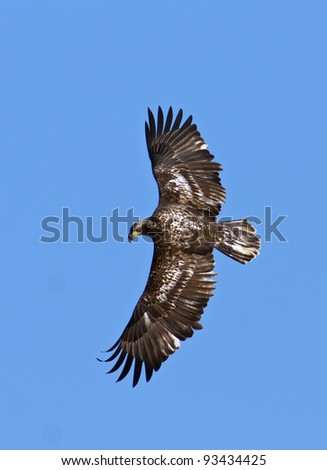 Immature Bald Eagle in Flight while hunting. - stock photo