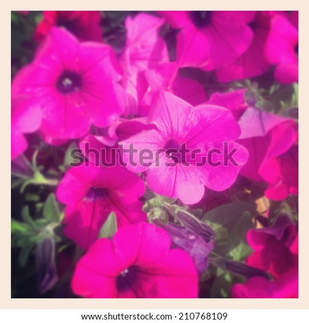 Instagram photo of purple petunias - stock photo