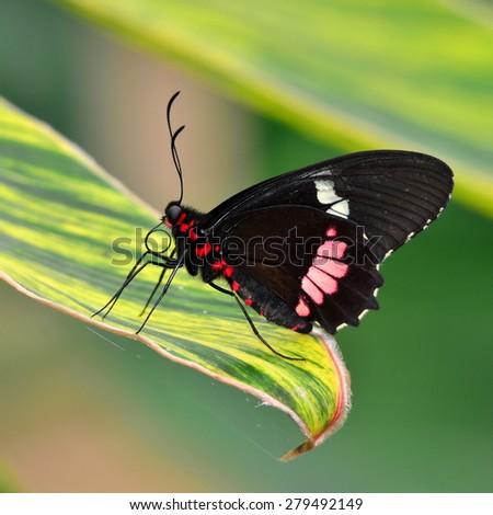 Iphidamas Cattleheart orhe Transandean Cattleheart butterfly - stock photo