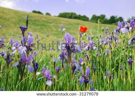 iris and one poppy behind - stock photo