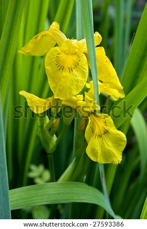 """""""Iris pseudacorus"""". This is a nice plant along watersides and other wet places. - stock photo"""