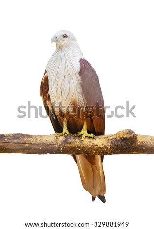 Isolate Red Hawks - stock photo