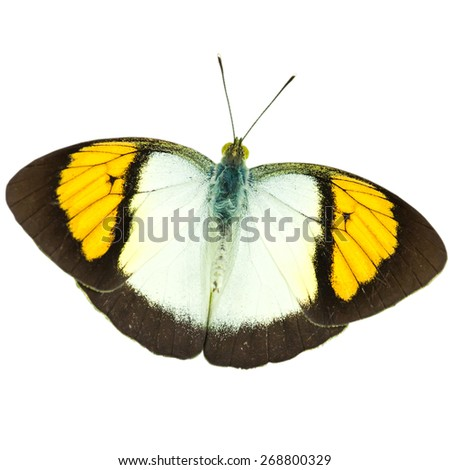 isolated butterfly (The Yellow Orange Tip )