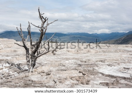 Isolated single dead tree on cracked soil in Yellowstone National Park as an effect of global warming - stock photo