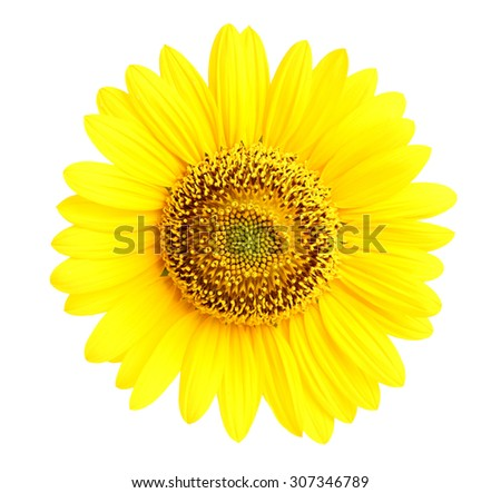 Isolated sunflower closeup on a white background.