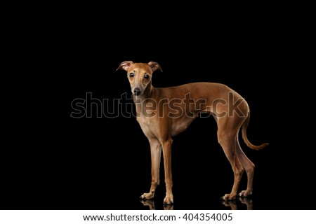 Italian Greyhound Dog Standing on Mirror and Looking in Camera isolated on Black background, Posing - stock photo