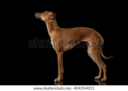 Italian Greyhound Dog Standing on Mirror and Looking up isolated on Black background, Posing side view - stock photo