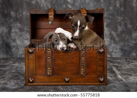 2 Italian Greyhound puppies inside wooden chest trunk - stock photo
