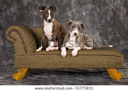 2 Italian Greyhound puppies lying on miniature couch sofa chaise - stock photo