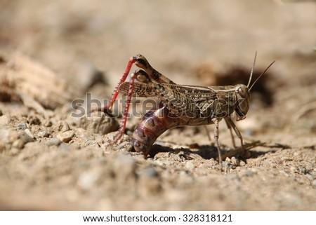 Italian locust, Calliptamus italicus - stock photo
