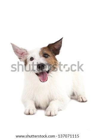 jack russel terrier dog - stock photo