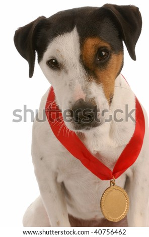 jack russel terrier with award winning medal around neck - stock photo