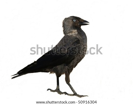Jackdaw isolated on white background Corvus monedula