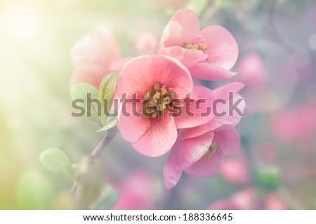 Japanese Quince flower in sunlight, toning