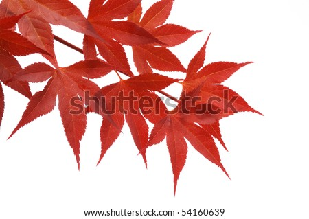 japanese red maple - stock photo