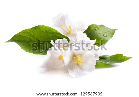 jasmine white flower isolated on white background - stock photo