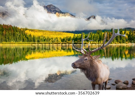 Jasper National Park in the Rocky Mountains of Canada. Proud deer antlered stands on the banks of the pretty lake. The lake reflects multi-colored autumn woods and mountains - stock photo