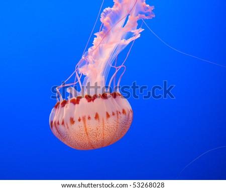 jelly fish - stock photo