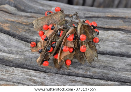Jequirity plant,( Fabaceae ) with the old wood background. The most poisonous plant in the world.Selective focus with shallow depth of field. - stock photo
