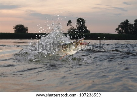 jumping out from water long pike - stock photo