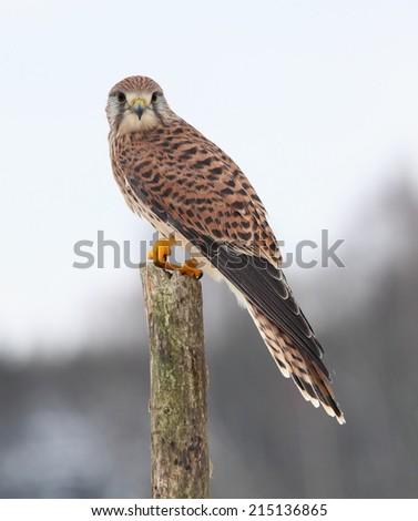 Kestrel, lat. Falco tinnunculus on the pole - stock photo