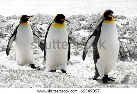 3 King Penguins in the Falkland Islands - stock photo