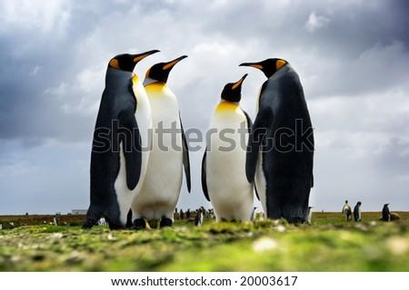 4 King Penguins standing together, Falkan Islands - stock photo